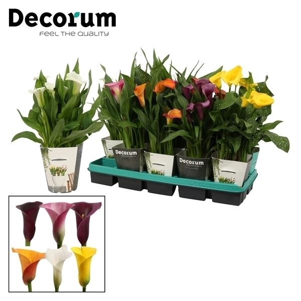 <h4>Zantedeschia Mix in Potcover (Decorum)</h4>