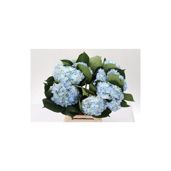 <h4>Hydr Imp Blue Blue - Premium</h4>