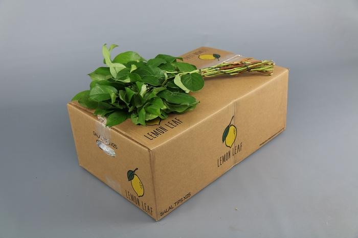 <h4>Salal  Tips Lemon Leaf</h4>