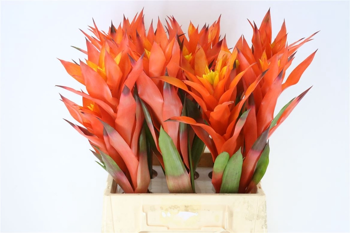 <h4>Bromelia Orangeade</h4>