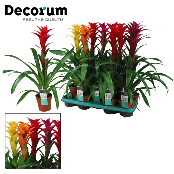 <h4>Guzmania Maxima Mix (Decorum)</h4>