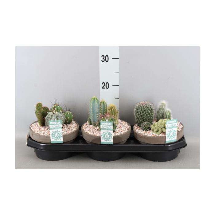 <h4>Arr.  Cactus L%</h4>