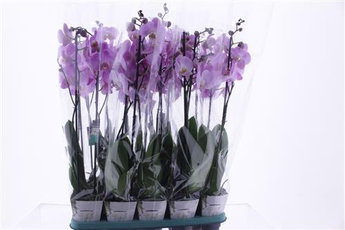 <h4>Phalaenopsis Pink Light</h4>