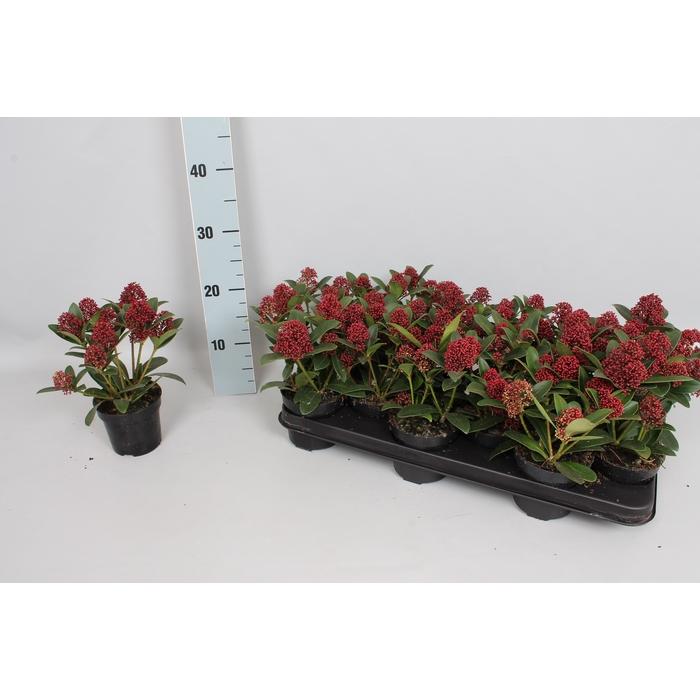 <h4>Skimmia jap. 'Red Dwarf' 4/6 bloem</h4>