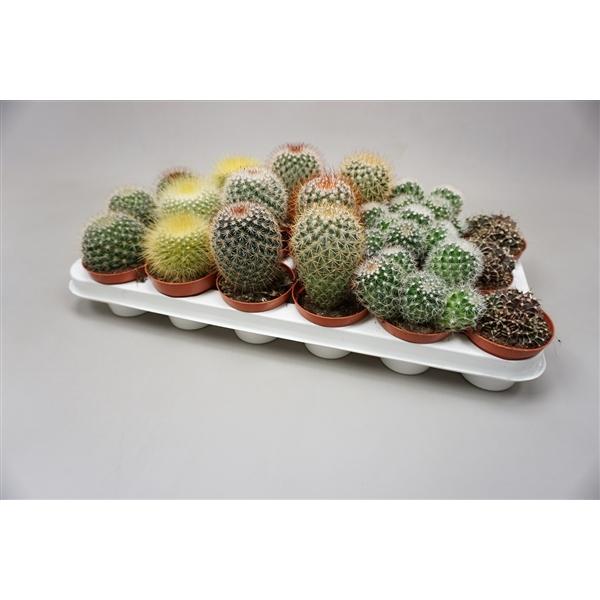 <h4>Cactus gemengd Bolcactus gemengd</h4>