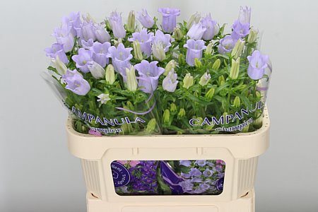 <h4>Campanula Med Lavender</h4>