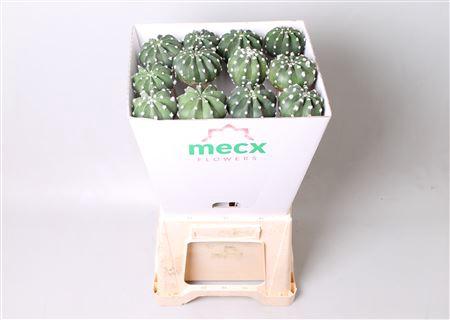 <h4>Cactus Subdenudata (mecx Flowers)</h4>