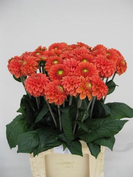 <h4>Dahlia Ball Orange Fox</h4>