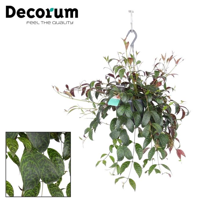 <h4>Aeschynanthus marmoratus</h4>