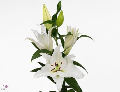 <h4>Lilium oriental Premium Blond</h4>