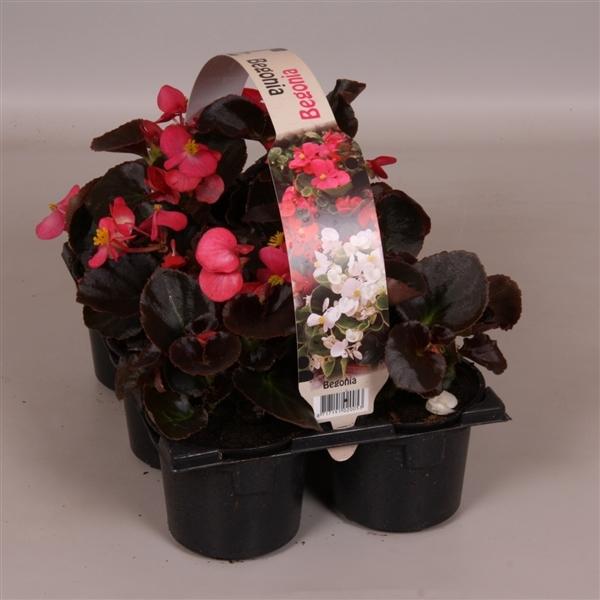 <h4>Begonia Semperflorens donkerbladig roze 6p</h4>