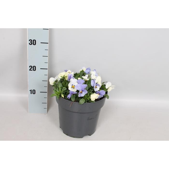 <h4>Viola cornuta 19 cm YTT</h4>