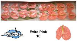 <h4>Anthurium Evita pink</h4>