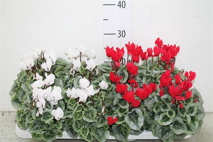 <h4>Cyclamen Kl S S Picasso Rood Wit</h4>