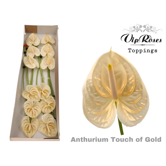 <h4>ANT A TOUCH OF GOLD</h4>