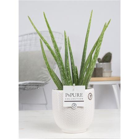 <h4>Aloe Vera In Pure Liv</h4>