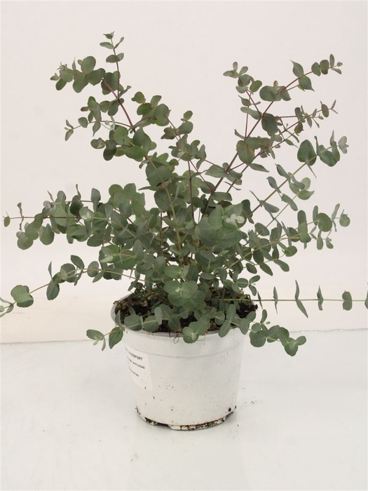 <h4>Eucalyptus Gunnii Bush Dikte 2</h4>