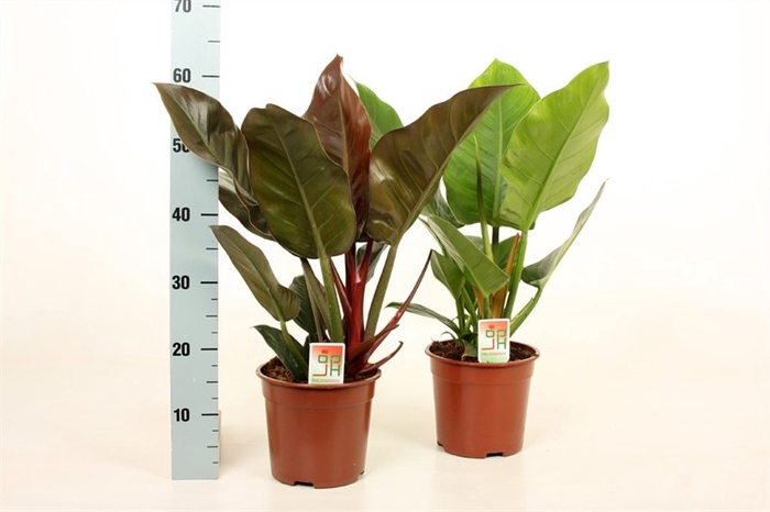 <h4>Philodendron overig</h4>