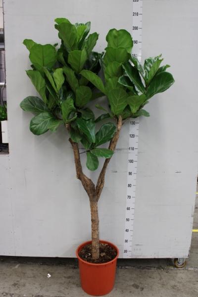 <h4>Ficus lyrata</h4>