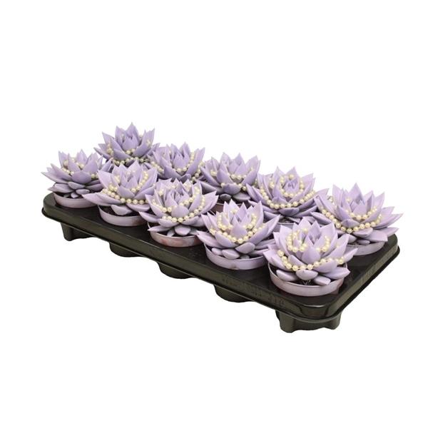 <h4>Echeveria coloured pastel purple + chain</h4>