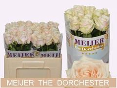 Rose Dorchester+