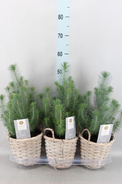 <h4>Pinus pinea 'Silver Crest'</h4>