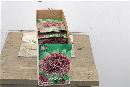 <h4>Bulb Allium Christophii X5</h4>