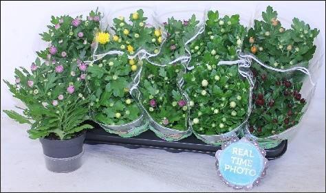 <h4>Chrysanthemum ind.mix 5kl</h4>
