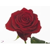 Rosa Gr. Furiosa