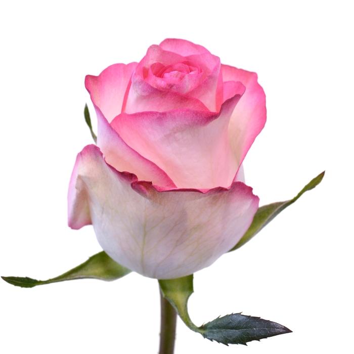 <h4>Rose Jumilia</h4>