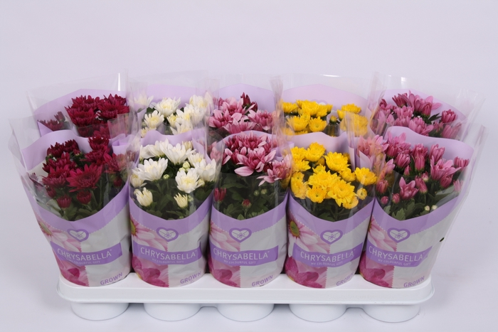 <h4>Chrysanthemum gevuldbloemig gemengd</h4>