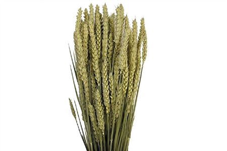 <h4>Bunch Triticum</h4>