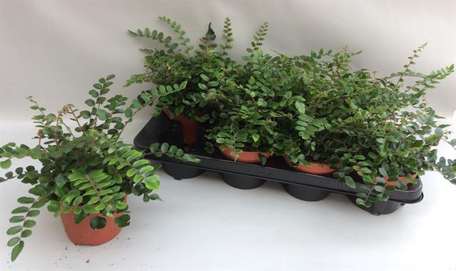 <h4>Pellaea Rotundifolia 13Ø 35cm</h4>