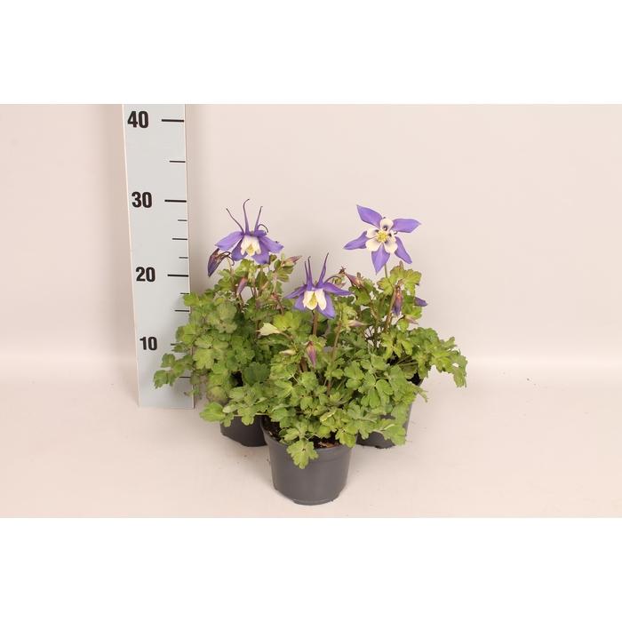 <h4>Vaste planten 12 cm Aquilegia Deep Blue & White</h4>