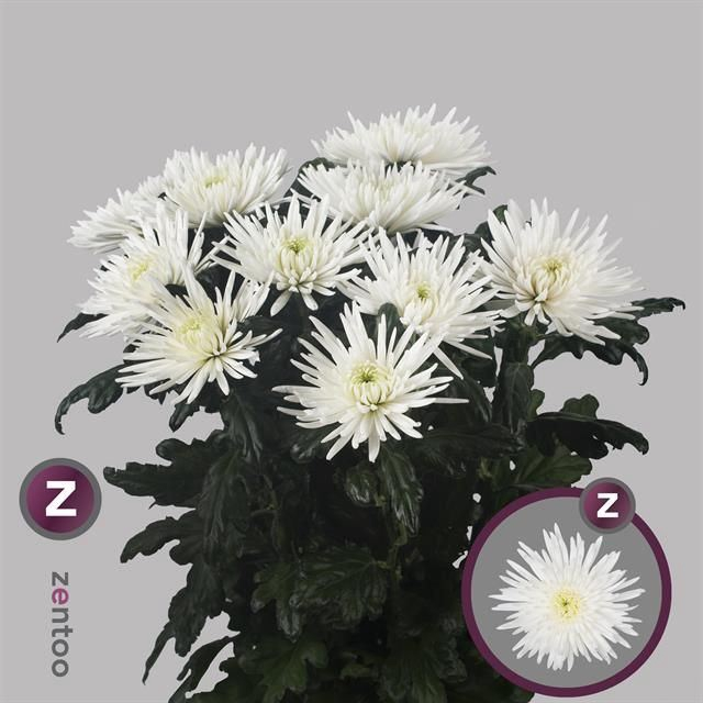 <h4>Chrysanthemum PL 'Anast'</h4>
