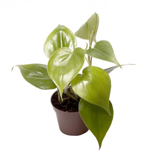 <h4>Philodendron Scandens 6Ø 12cm</h4>