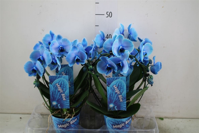 <h4>Phal Royal Boog Blue</h4>