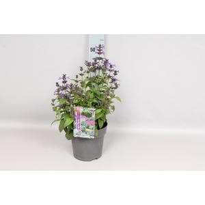 vaste planten 19 cm  Nepeta Neptune