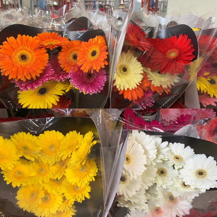 <h4>Gerbera Mix, P/Color</h4>