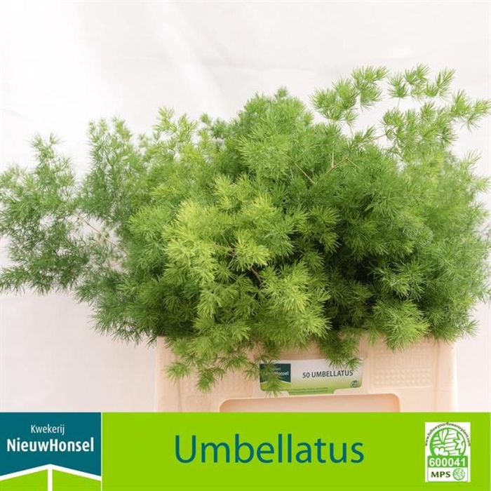 <h4>Asp Umbellatus</h4>