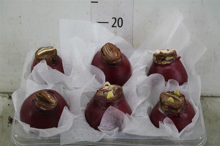 <h4>Bol Hippeastrum Wax Bordeaux Red 32-34</h4>
