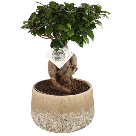 <h4>Ficus M. Ginseng Pot Ø20cm In Ø25cm Rocklook Spher</h4>