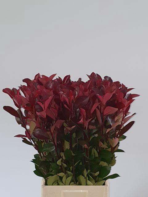 <h4>PHOT X F RED ROBIN</h4>