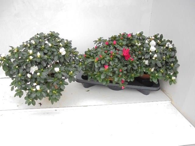<h4>Rhododendron simsii Hellmut Vogel mix 16Ø 40cm 40Ø</h4>
