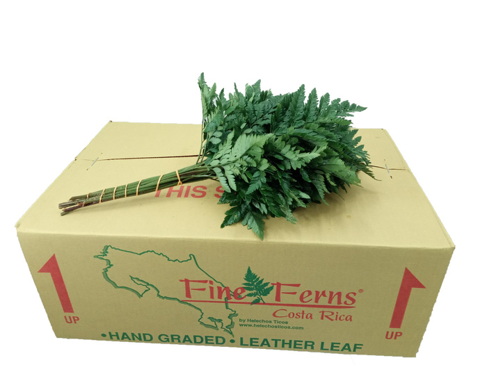 <h4>LEDERVAREN JUNIOR FINE FERNS</h4>