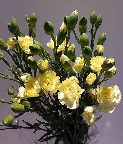 <h4>Dianthus Spray Yellow (Carn)</h4>