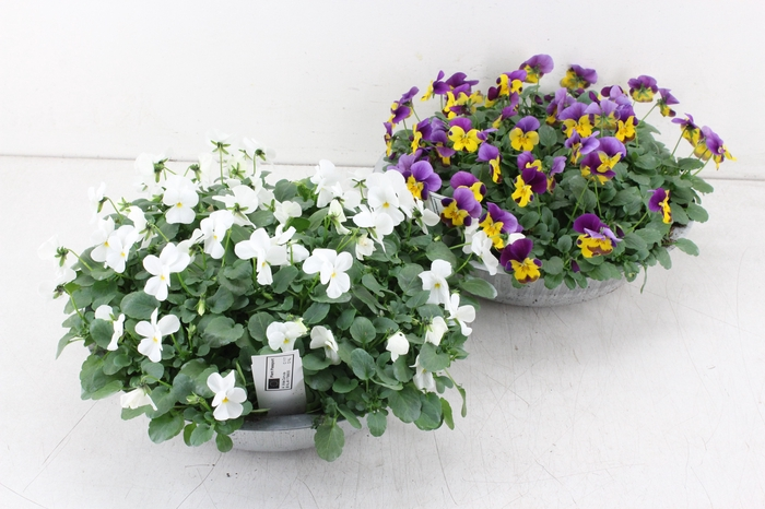 <h4>arr.. Viola - Zink schaal L</h4>