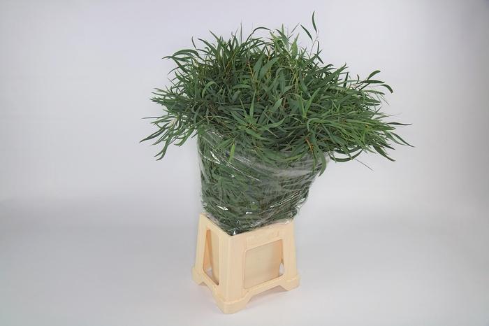 <h4>Eucalyptus Nichollii</h4>