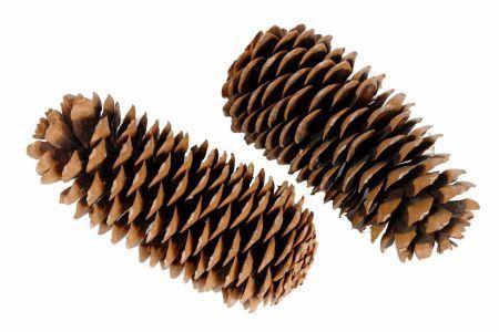 <h4>Pinecone Sugar Pine 25-45 Cm</h4>