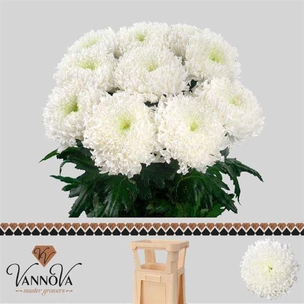 <h4>Chrysanthemum PL 'Einstein'</h4>